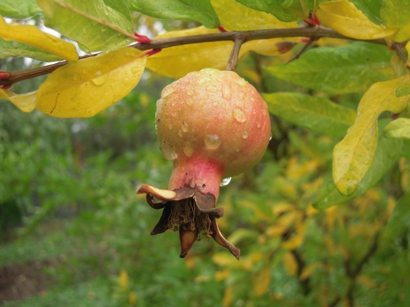 melograno in autunno